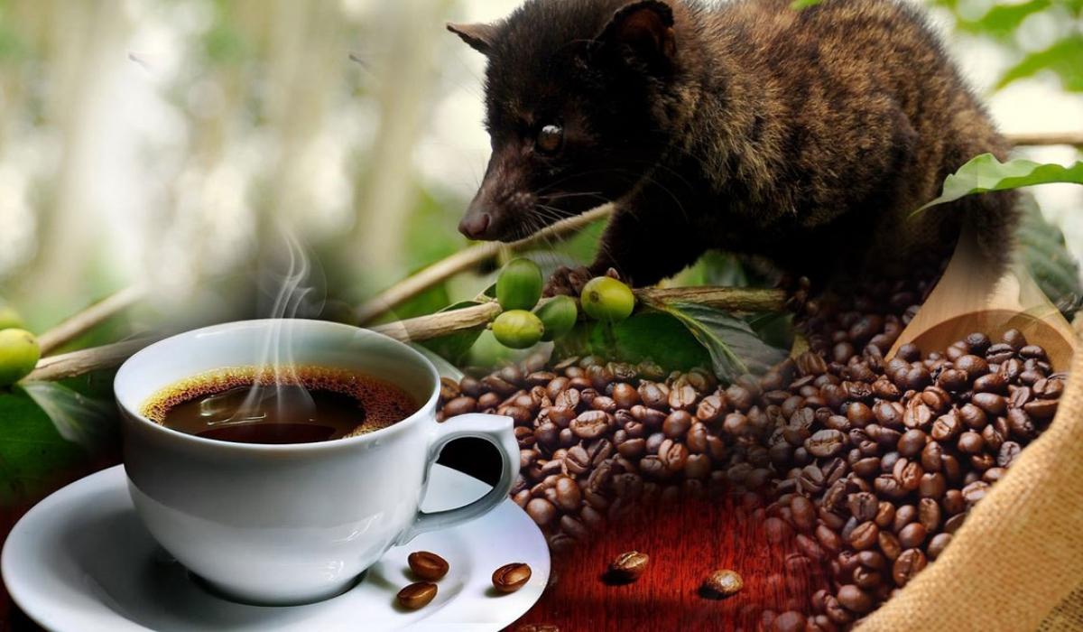 Cà phê chồn nguyên chất có đắt không?-1